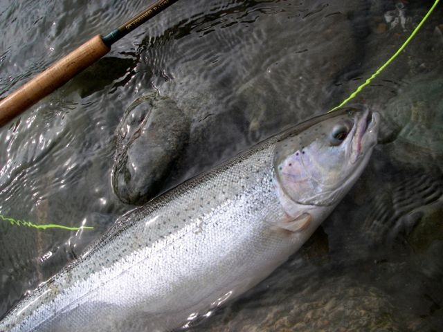 Vedder Steelhead
