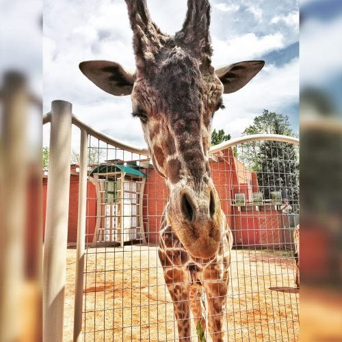 Denver Zoo Giraffe Encounter Presented by Toyota