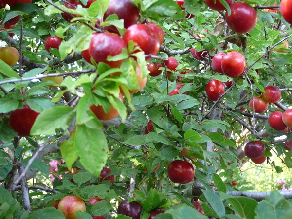 Every other year, our plum trees go berserk.