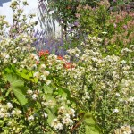"""Oregano in the foreground, lavender beyond, vying for room in my chaotic """"garden"""""""