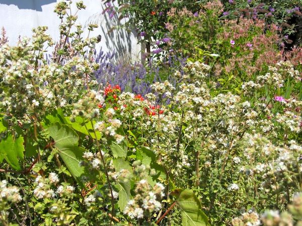 "Oregano in the foreground, lavender beyond, vying for room in my chaotic ""garden"""