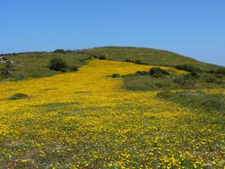 Daisies: what we'd be missing on the island of Andros.