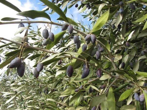 One of our lovely Kalamata olive trees, with its ebony fruit.