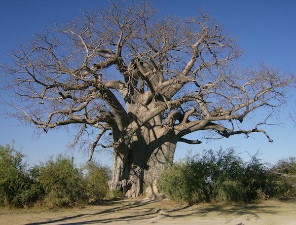 A Namibian baobab (Photo: Marden).