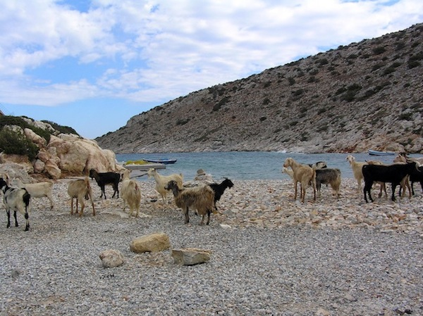 Goat beach before the priest takes his swim.