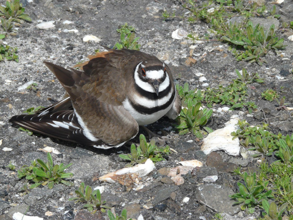 Kildeer faking an injured wing to protect its nest.