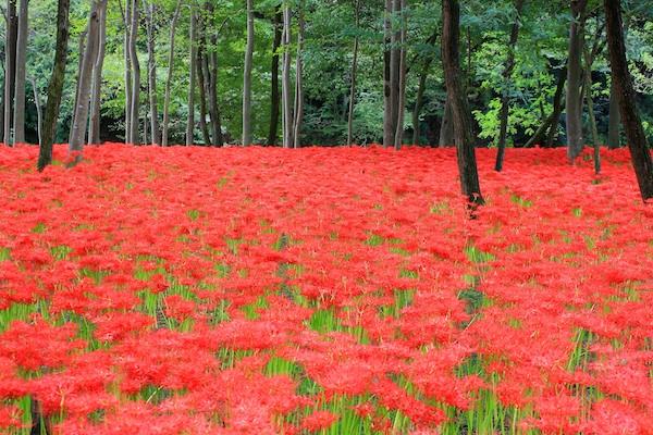 Wbalk-Red-Spider-Lilies