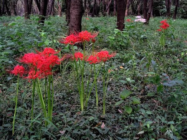Spider Lilies.