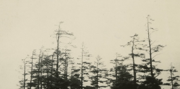 Grove of remnant white pines, about 1933.