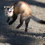 A mid-air ferret.