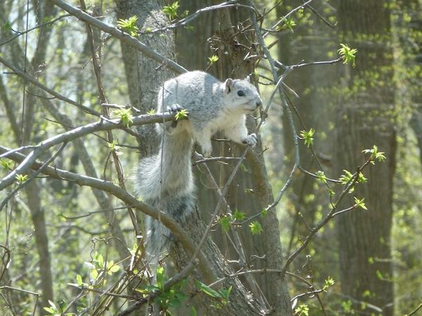 Fox squirrel.