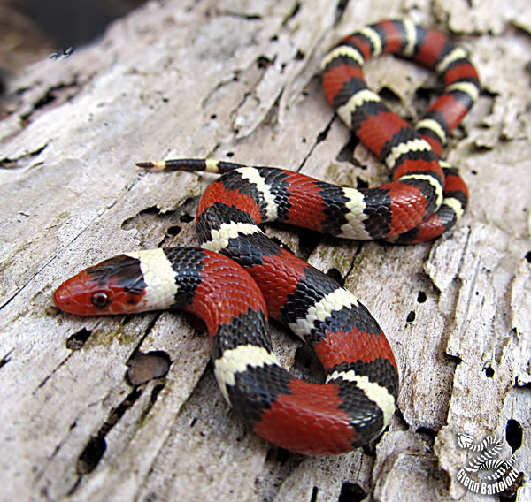 Scarlet king snake.