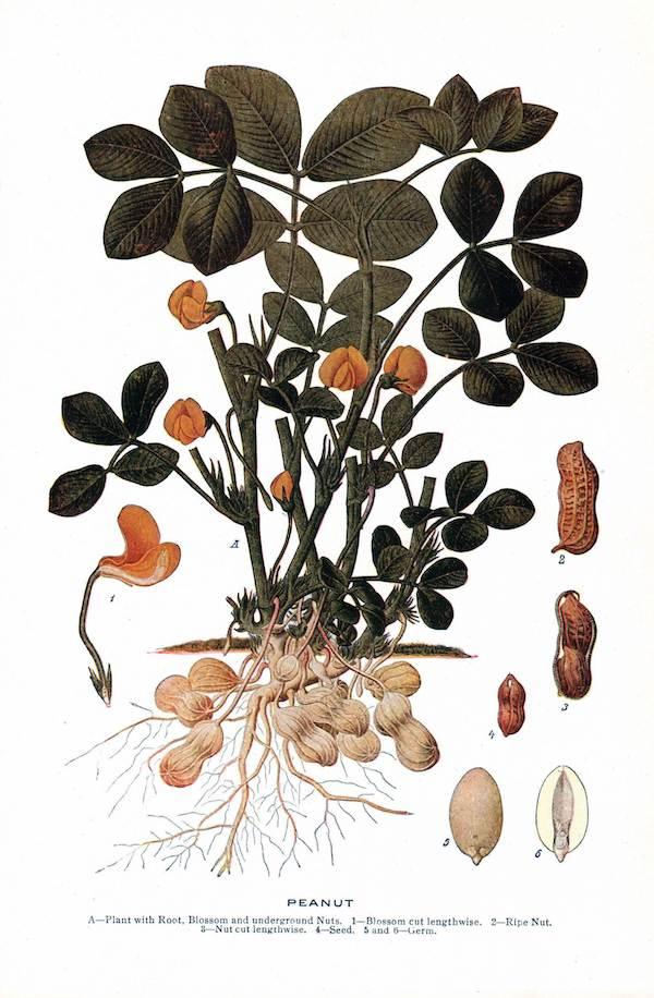 Peanut plant.