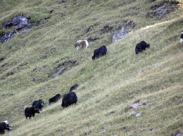 Yaks on the mountainsides.