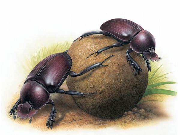 """""""Dung Beetles,"""" © Steve Roberts / Footprint Design, Painting commissioned for the 2008 International Congress of Entomology in Durban, South Africa."""