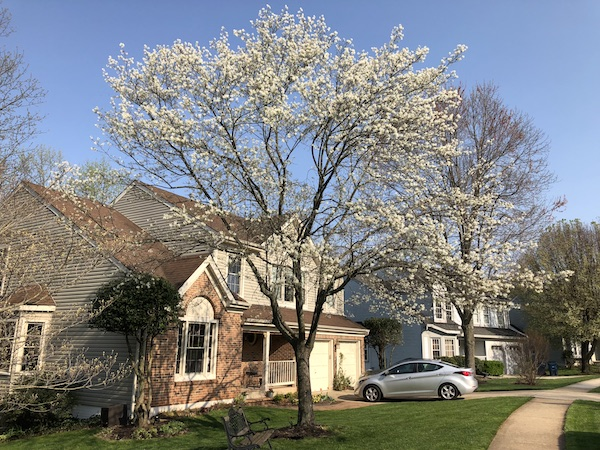 Unusually large shadblow/serviceberry.
