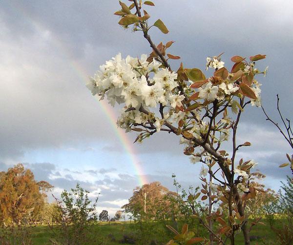 Pear in spring bloom.