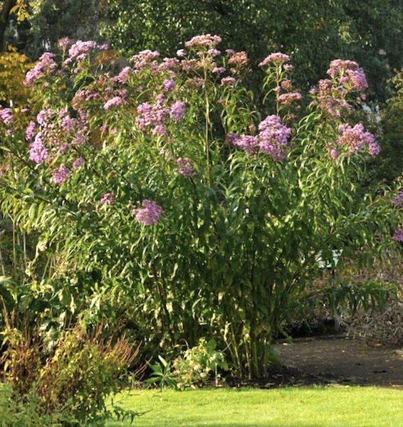 Ironweed in the garden.