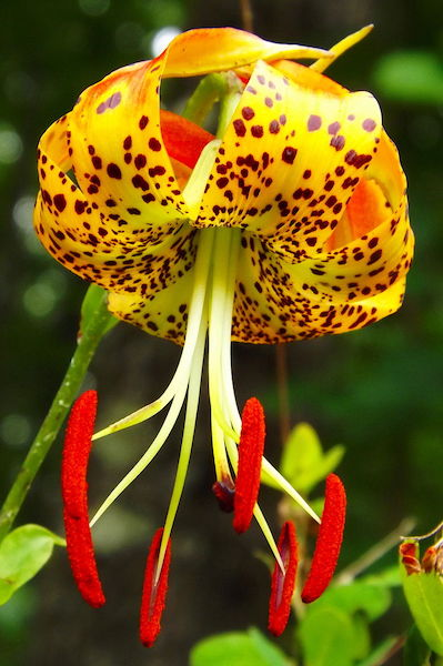 Lilium superbum, the native Turk's Cap Lily.