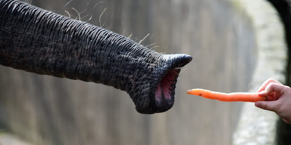Elephant's precision instrument.