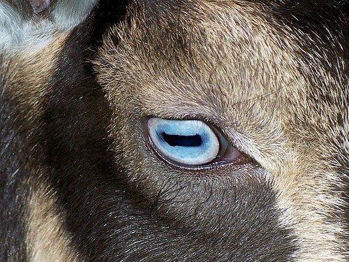 A goat eye.