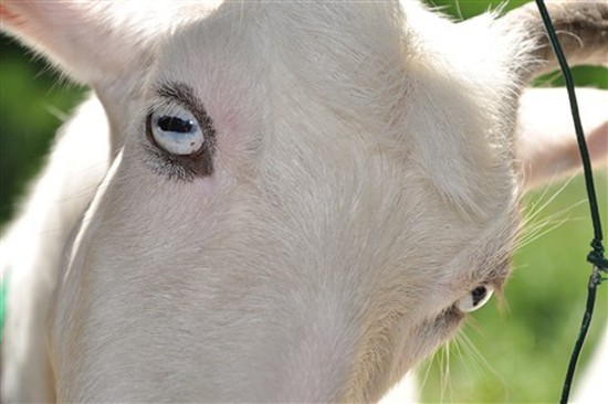A staring goat.