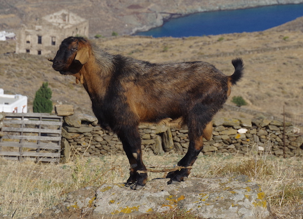 Young goat on a rock, Kythnos, 2018.