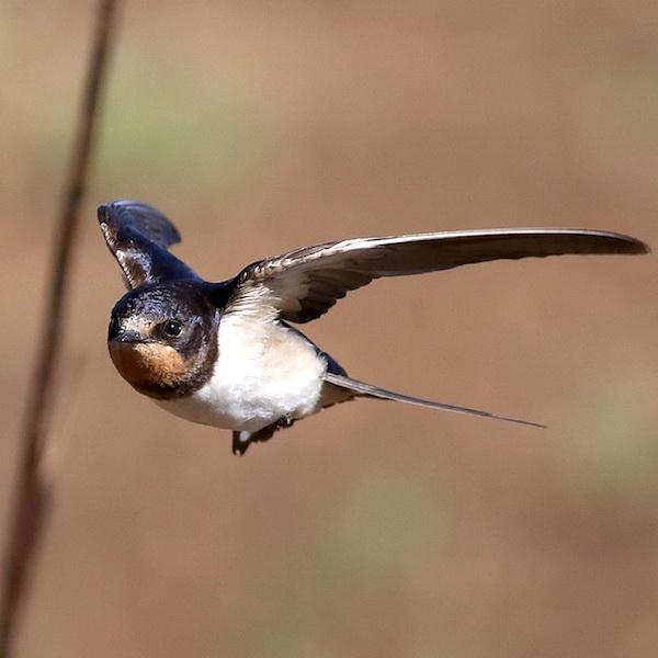 Barn Swallow. (Photo by Derek Keats.)