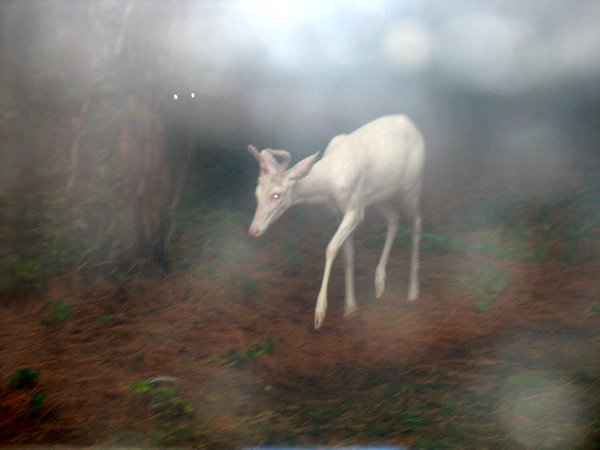 "The White Deer,"" by Kay Goldstein."