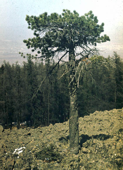 Russian cedar.