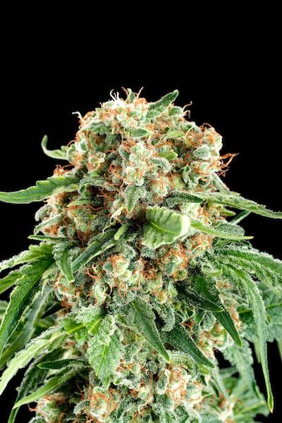 Siberian cannabis.