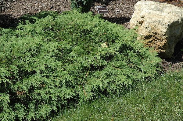 Siberian cypress.