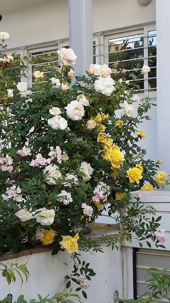 Banksia roses, white or yellow, climb up many of Kifissia's trees.