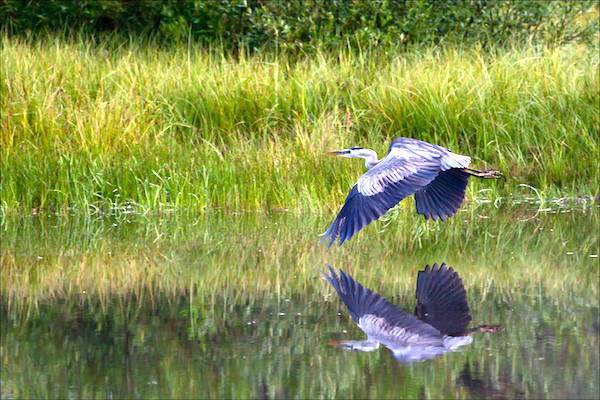 """""""Great Blue Heron Reflected."""" (Photo: Christopher Martin Photography.[ https://christophermartinphotography.com/2010/08/02/great-blue-herons-at-wild-rose/])"""