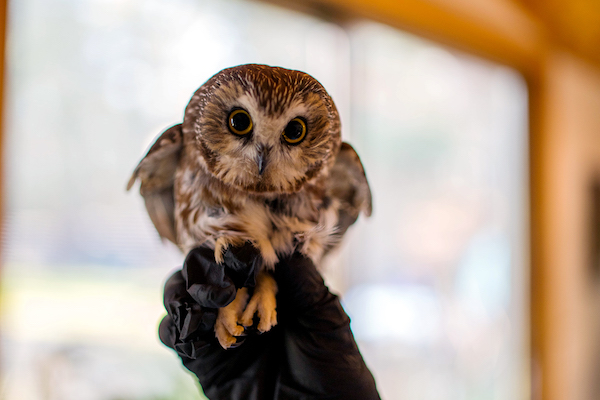 """Whooey,"" aka Rocky. (Photo: Ravensbeard National Wildlife Center.)"