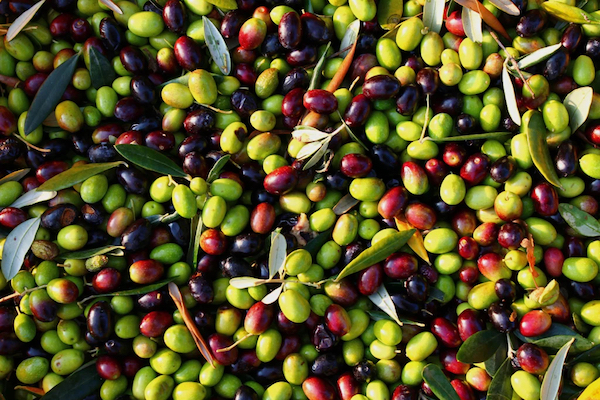 Andriot olives. (Photo: Andros Greece Blog)