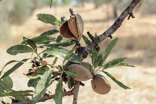 Greek almond harvest. (Photo: Alexandra Mitsiou)