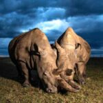 The planet's last two northern white rhinos; both female, mother and daughter.(Photograph: Gurcharan Roopra.)