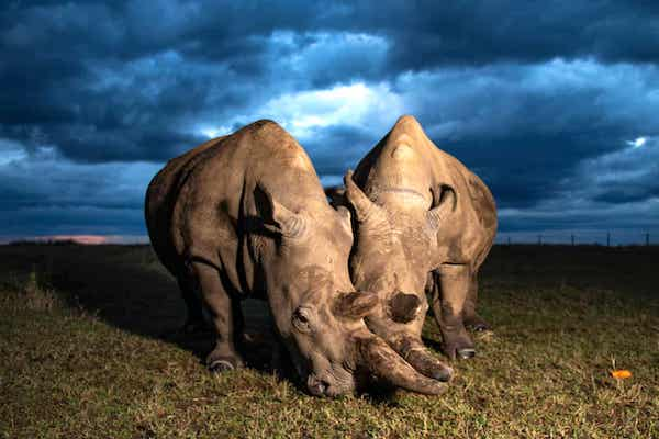 The planet's last two northern white rhinos; both female, mother and daughter. (Photograph: Gurcharan Roopra.)