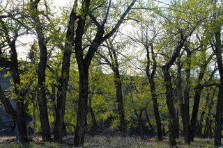 Cottonwood gallery forest, Oldman River, Alberta.