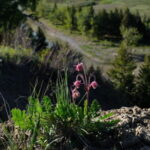 Three flowered avens, Oldman River valley, Alberta.