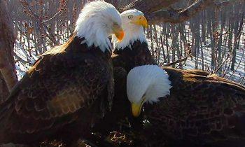 LIVE WEBCAM:  Rare Trio Of America's Birds Raising Eaglets Together