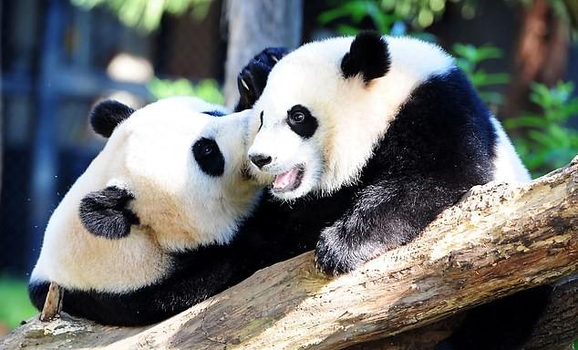 National Zoo Warns Trump's Trade War With China May Cost Us PANDAS In 2020