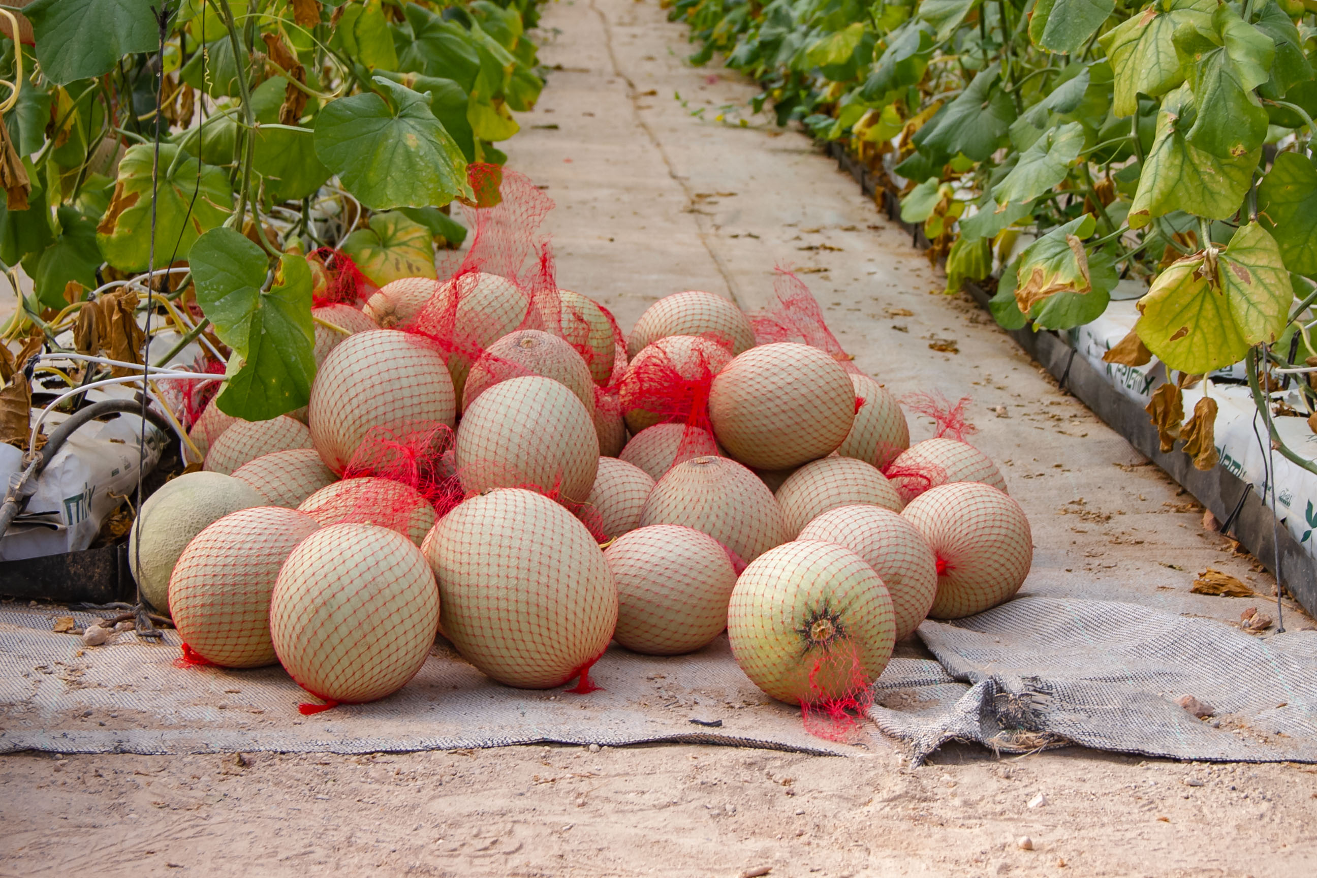 Panama Organics melons, Simply Natural Farms' premium organic brand of fruits and Vegetables, being harvested