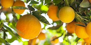 Fillmore-Piru Citrus