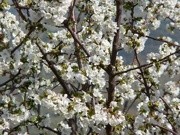 cherry_tree_blossoms