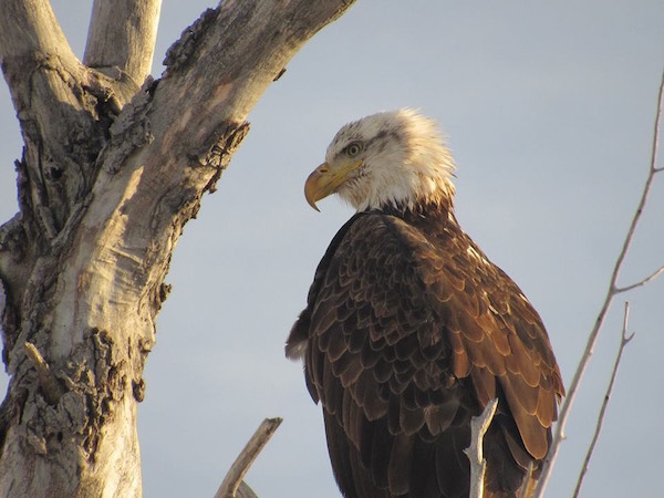 Cops Searching for Dastardly Hunter Who Gunned Down Bald Eagle