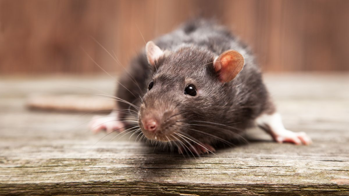 Rats the Size of Cats Forces Closure of Chipotle in NYC