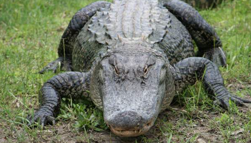 Alligator Chases Down People in Wendy's Parking Lot