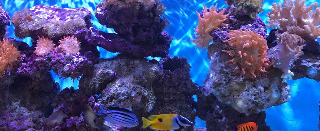 A n aquarium soft coral reef shimmers with fish swimming